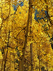 2012-09-21 Aspens & St. Elmo : My friend Jacqueline and I drove up to St. Elmo today to take pictures of the aspens.  I think we hit them at their peak!